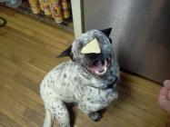 Happy dog, waiting for the signal to eat the tortilla chip.